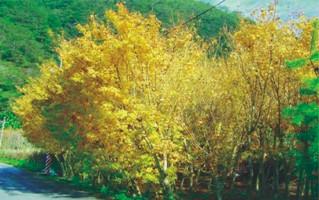 楓林社區(楓樹林)