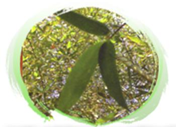 Image-竹葉是竹子進行光合作用的功臣