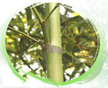 Image-竹桿一側略扁平,竹枝節間長12cm-40cm。